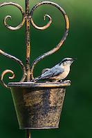 Kleiber, sitzt auf Gartendeko, Spechtmeise, Sitta europaea, Eurasian nuthatch