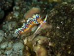 Desireable flabellina, Aeolid nudibranch, Bali, Indonesia 2018