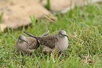 The Inca Dove (Columbina inca) is a small tropical dove of arid areas.