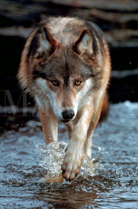 Portrait of a grey wolf fording a stream