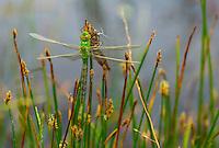 DRAGONFLY Anax imperator, Campanarios de Azaba Biological Reserve, Salamanca, Castilla y Leon, Spain, Europe