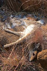 Dead Steenbok
