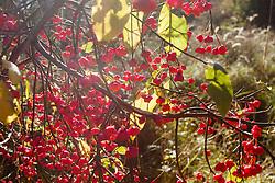Wilde kardinaalsmuts, Eyonumus europaeus