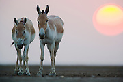A portrait of two Indian wild asses ( Asinus hemionus khur ) facing us while the setting sun descends behind them, Little Rann of Kutch, Gujarat, India