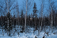 The first full moon of 2020 rises through birch and black spruce trees near Nenana, Alaska