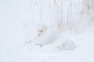 01863-01403 Two Arctic Foxes (Alopex lagopus) in snow Chuchill Wildlife Mangaement Area, Churchill, MB Canada
