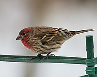 House Finch (Haemorhous mexicanus). Image taken with a Leica SL2 camera and Sigma 100-400 mm lens.