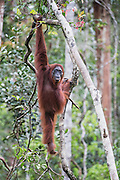 An orangutan (Pongo pymaeus) in the landscape hanging from a tree limb, Tanjung Puting National Park, Central Kalimantan, Borneo, Indonesia