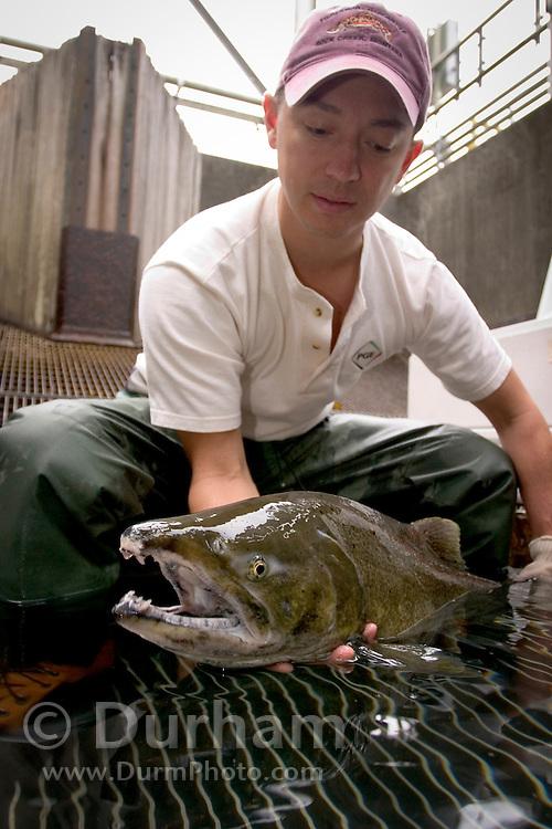 Portland General Electric fish biologist Tim Shibahara holds a wild coho salmon (Oncorhynchus kisutch) in the Faraday Dam fish trap.