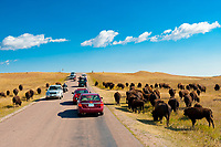 Tourists passing American bison (American buffalo) on the Wildlife Loop Road, Custer State Park, Black Hills, South Dakota USA