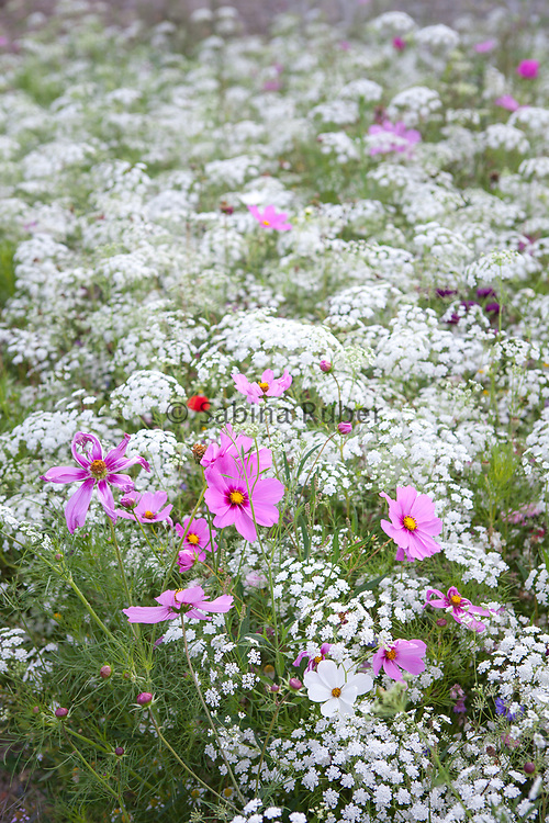 Wild flower mix with Ammi majus and Cosmos
