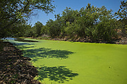 Algae Bloom in flood channel next to Silicon Beach in the Ballona Wetlands, Playa Vista, California, USA