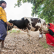 CAPTION: Seema Devi milks her cow. In the absence of reliable and affordable power, storage of milk poses a problem for small-scale dairy entrepreneurs on the island. LOCATION: Singhilpur, Saran District, Bihar, India. INDIVIDUAL(S) PHOTOGRAPHED: From left to right - Unknown and Seema Devi.