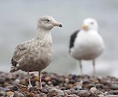 Glaucous gull (Larus hyperboreus) at Budleigh Salterton.