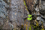 A Maidenhair Fern (Adiantum pedatum) growing in a rockface at Englishman River Falls Provincial Park near Nanaimo, British Columbia, Canada