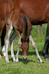 Hengstveulen van <br /> Calypso van de Vondelhoeve x Divina van 't Hoogwielke<br /> Pony fokkerij Van de Vondelhoeve - Lebbeke 2005<br /> Photo © Hippo Foto