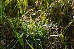 Veelbloemige veldbies, Luzula multiflora subsp. multiflora