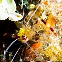 Banded Coral Shrimp, Stenopus hispidus, (Olivier, 1811), Grand Cayman