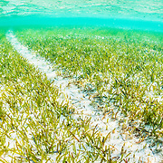 A propeller scar runs through a seagrass (Thalassia testudinum) meadow in The Bahamas. The prop scar is caused by a boat's propeller digging up the root structure of the underwater plant.