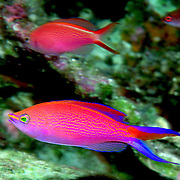 Princess Anthias inhabit reefs. Picture taken Raja Ampat, Banda, Indonesia.