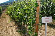 Vines. Vidiano vine variety. Biblia Chora Winery, Kokkinohori, Kavala, Macedonia, Greece