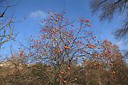 ripe Kaki fruit on tree during autumn season
