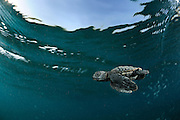 With the simultaneous fore-flippers stroke of underwater-flight the tiny Loggerhead Sea Turtle (Caretta caretta) swims, dives and surfaces at an astonishing speed. | Unechte Karettschildkröte (Caretta caretta)