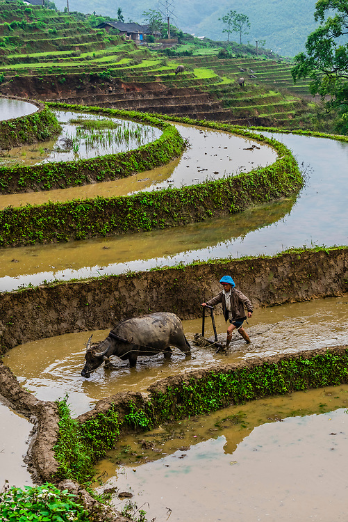 Farmer and water buffalo working in the rice terraces of the Muong Hoa Valley near Sapa. northern Vietnam.