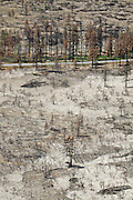 Trees blackened by a forest fire in Lassen National Forest, California.