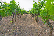 The vineyard with rows of merlot vines in the typical sandy gravely soil Chateau Bouscaut Cru Classe Cadaujac Graves Pessac Leognan Bordeaux Gironde Aquitaine France