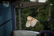 Barn owl in flight. Arne, Dorset, UK.