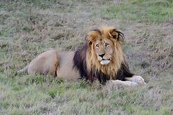 Panthera leo melanochaita, Kaploewe, Loewe, South African Lion or Cape Lion, Porth Elizabeth, Suedafrika, Suedafrika, Schotia Safaris Private Game Reserve park
