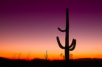 Saguaro cacti on the US-Mexico border on Southwestern Arizona at sunset.