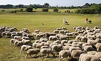 ZANDVOORT - De Kennemer Golf & Countryclub heeft in de strijd tegen de prunussen de hulp ingeroepen van een grote kudde schapen.De 350 Schoonderbeek schapen grazen op vooraf bepaalde stukken langs de fairway. Herder Henry Hoyting zorgt er met zijn honden voor dat de schapen niet over de fairway of greens lopen. De Kennemer wil op deze manier op een natuurvriendelijke manier de vergrassing en de prunussen terugdringen .COPYRIGHT KOEN SUYK Copyright Koen Suyk