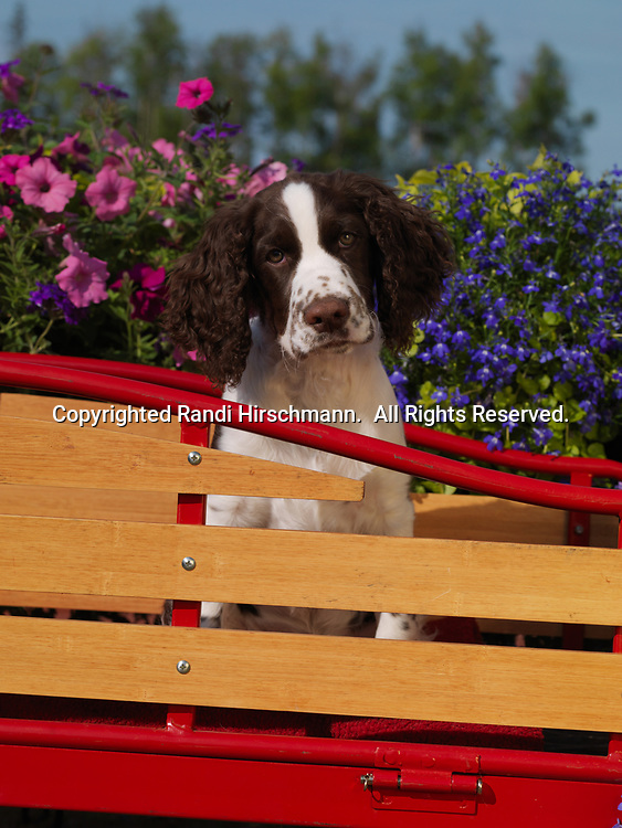 """English Springer Spaniel, AKC, 4-month-old puppy """"Jackson"""" photographed in Anchorage, Alaska and owned by Karen Demichelis of Anchorage, Alaska.  (PR)"""