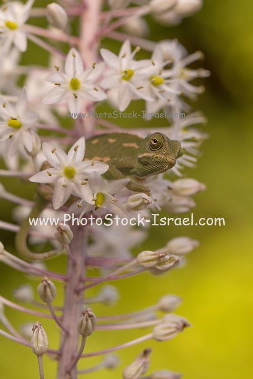 Common Chameleon (Chamaeleo chamaeleon) among flowers Photographed in Israel in September