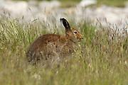 Mountain hare, Lepus timidus, summer coat, hiding in grass, Strathdearn, Highland.<br /> landscape; season; seasons; summer; green; brown;<br /> grass; grassland; sit; sitting; hide; summer coat;<br /> animal; animals; mammal; mammals; lagomorph;<br /> lagomorphs; wildlife; natu
