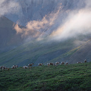 A group of Porcupine caribou (Rangifer tarandus granti) in early morning light make thier way up through the foothills of the Brooks Range in the Arctic National Wildlife Refuge, Alaska.