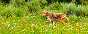 Yellowstone Coyote running in the summer fields with green and yellow flowers.