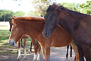 Wild paso fino horses on Vieques Island, Puerto Rico.