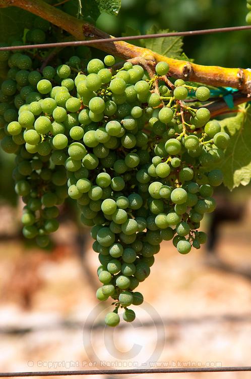 Grape bunches on the vine. Zilavka grape variety. One of their best vineyards with very poor soil on a hilltop mountain near Citluk and Zitomislic. Vinarija Citluk winery in Citluk near Mostar, part of Hercegovina Vino, Mostar. Federation Bosne i Hercegovine. Bosnia Herzegovina, Europe.