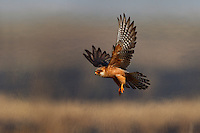 Female Red-footed Falcon hunting over burning steppe, Bagerova Steppe, Kerch Peninsula, Crimea, Ukraine