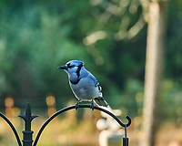 Blue Jay. Image taken with a Nikon D850 camera and 200 mm f/2 VR telephoto lens