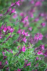 Salvia greggii 'Icing Sugar'
