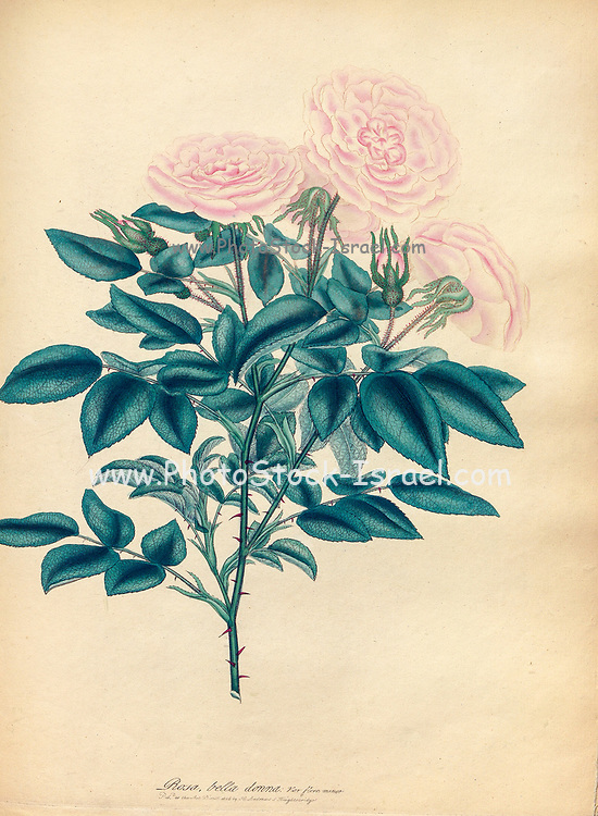 ROSA Bella Donna; Var. fiore minore Maiden's-blush Rose; Small-flowered Variety From the book Roses, or, A monograph of the genus Rosa : containing coloured figures of all the known species and beautiful varieties, drawn, engraved, described, and coloured, from living plants. by Andrews, Henry Charles, Published in London : printed by R. Taylor and Co. ; 1805.