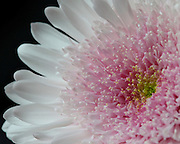 Macro image of a white chrysanthemum