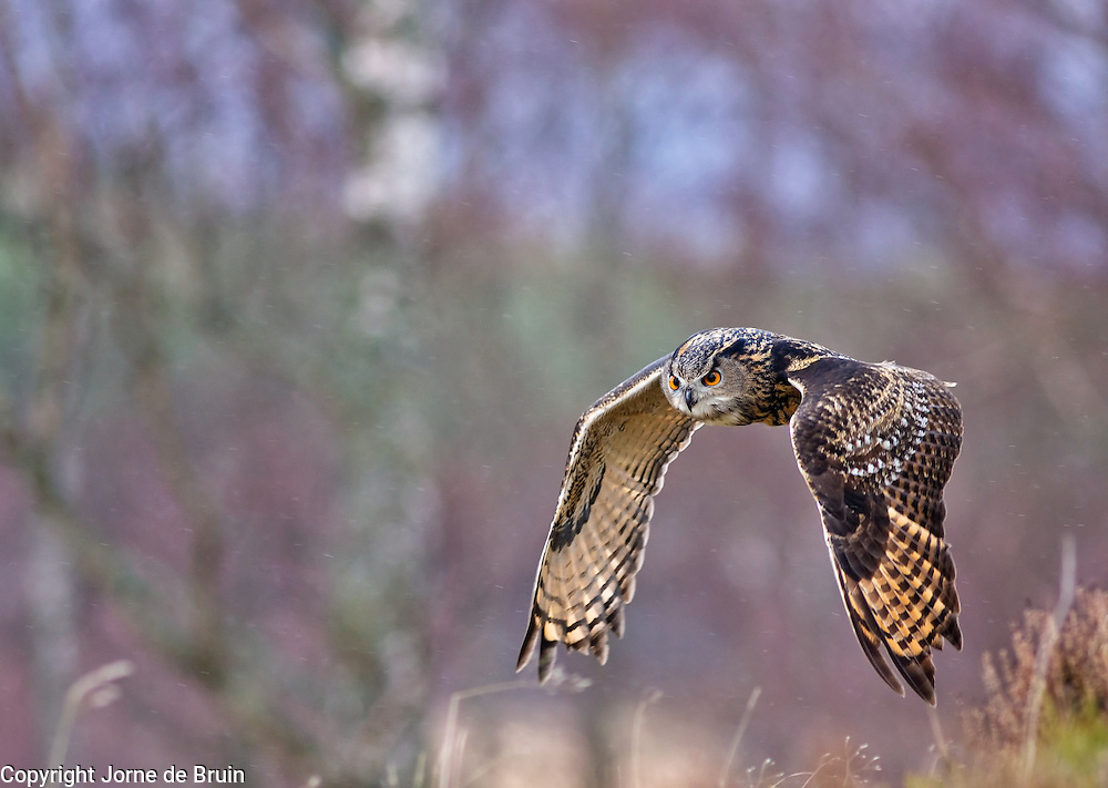 An Eurasian Eagle Owl is flying above the heather in the Cairngorms National Park in Scotland