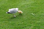 Nederland, Amsterdam, 26-11-2018 Een meeuw heeft een plastic bakje met eten uit een prullenbak, afvalbak, gehaald en probeert het voedsel wat weggegooid is en er nog in zit eruit te halen . Foto: Flip Franssen