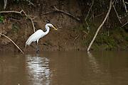 Great Egret (Ardea alba) in the Costa Rican rainforest
