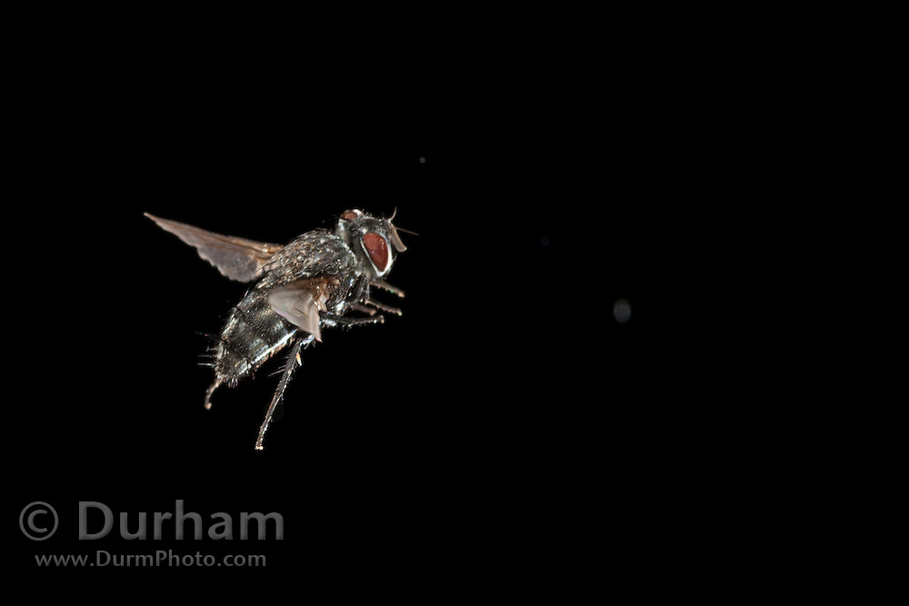 A flesh fly (sarcophagidae) photographed at night in Matobo National Park, Zimbabwe. © Michael Durham / www.DurmPhoto.com